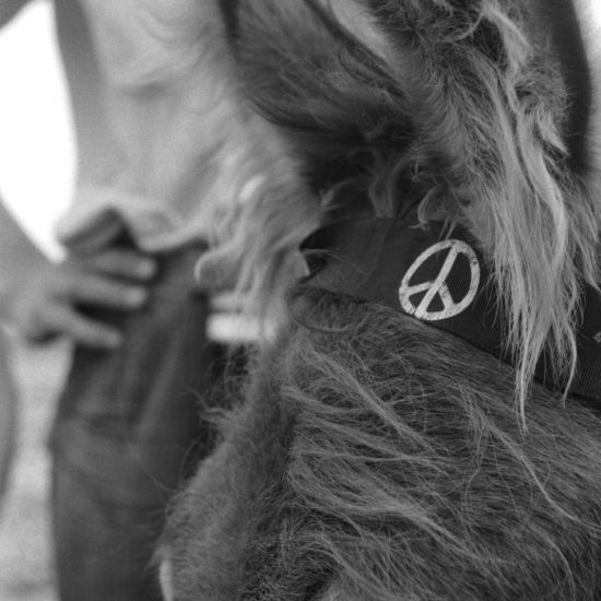 A close up of a donkey's head with a CND logo on the bridle. A man stands in the background, circa 1963